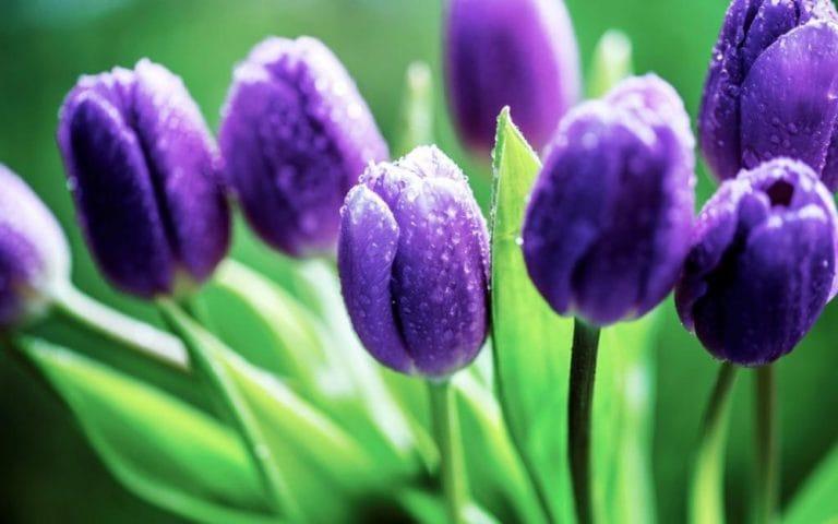 bong bóng hoa tulip, thương vụ để đời