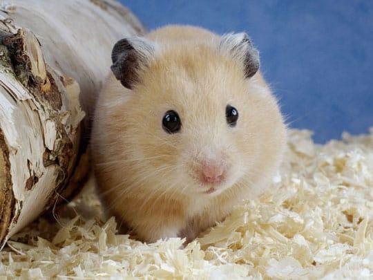 chuột sa hủ gạo