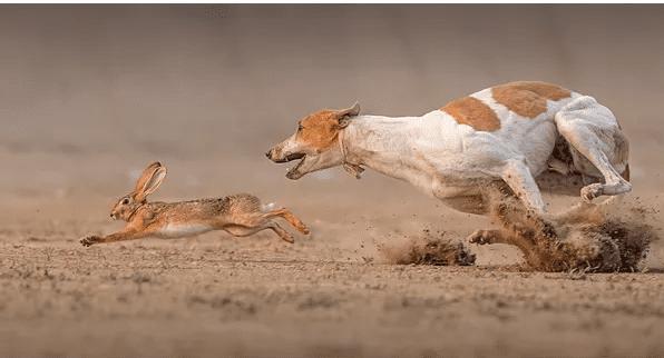 Chó săn thỏ